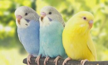burung-parkit