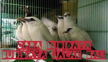 sarang-burung-jalak-bali