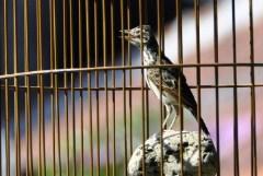 cara-memandikan-burung-branjangan
