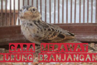 cara-merawat-burung-branjangan
