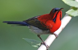 kolibri-sepah-raja-jantan