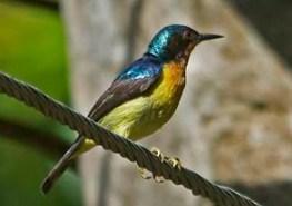 suara-kolibri-wulung