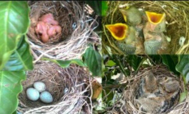 telur-burung-cendet