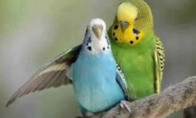 burung-jinak-murah