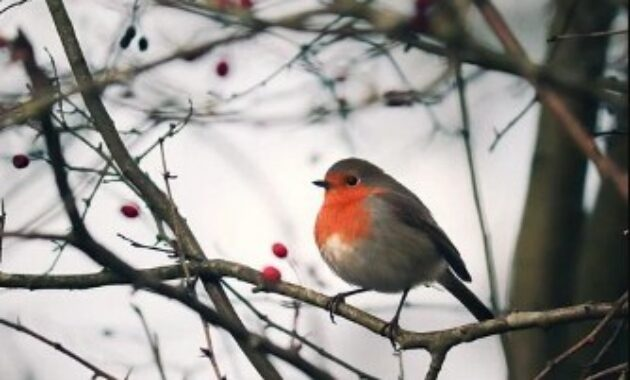 burung-robin-amerika