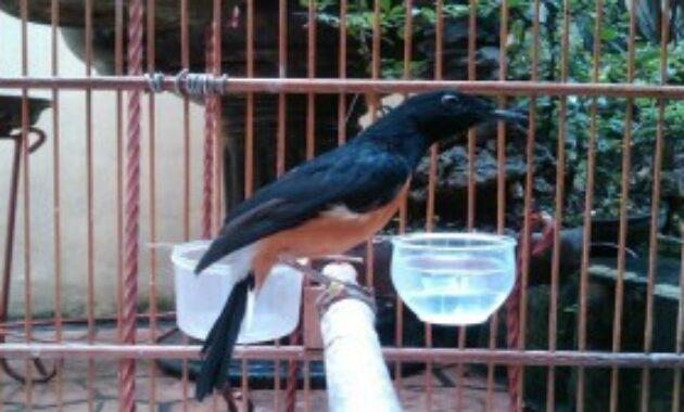 cara-mengatasi-burung-kanibal