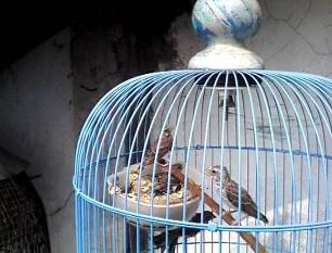 cara-menjodohkan-burung-blackthroat