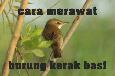 cara-merawat-burung-kerak-basi