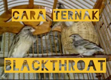 cara-ternak-burung-blackthroat