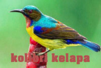 kolibri-kelapa