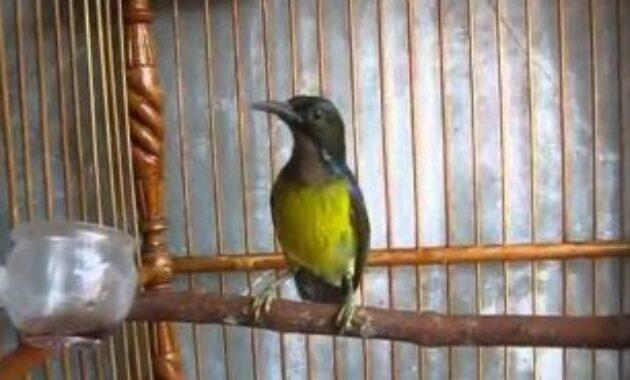 kolibri-kelapa-gacor