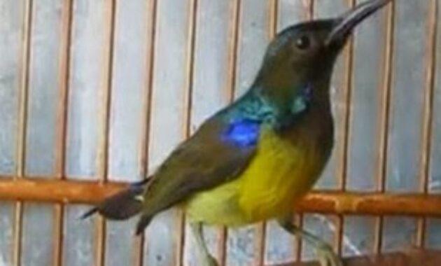 kolibri-kelapa-muda