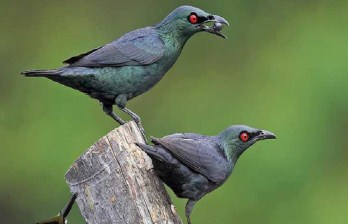 mitos-burung-cucak-keling