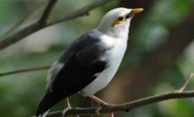 burung-jalak-putih-palsu
