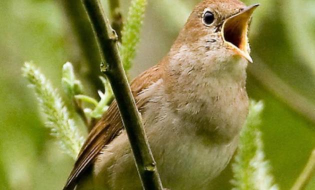 cara-merawat-burung-sikatan-londo-bahan