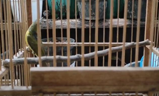 cara-merawat-kolibri-kelapa