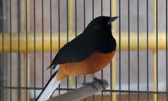 ciri-ciri-burung-stres