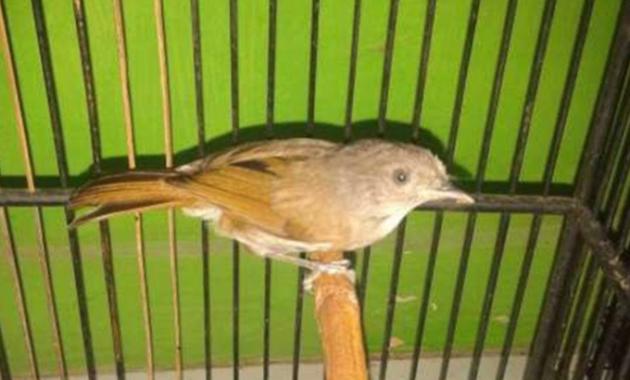 jenis-burung-sikatan-londo