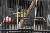 jenis-kolibri-kelapa