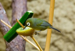 makanan-burung-pleci-dialam-bebas