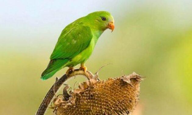 mitos-burung-serindit
