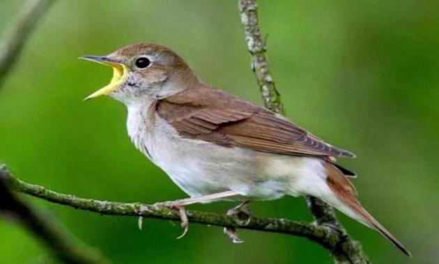 suara-burung-sikatan-londo-di-alam-liar