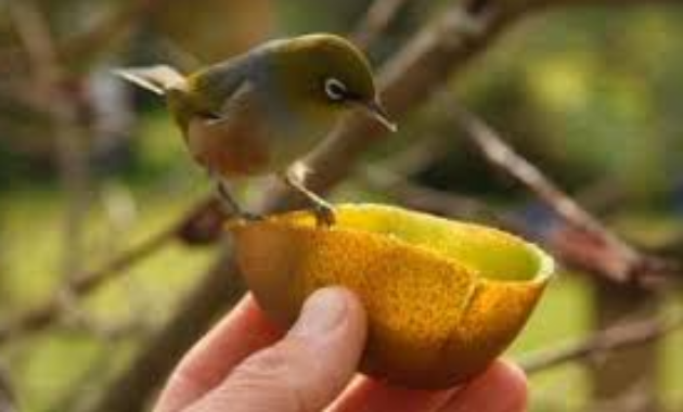 buah-buat-pleci-pleci-biar-ngeplong