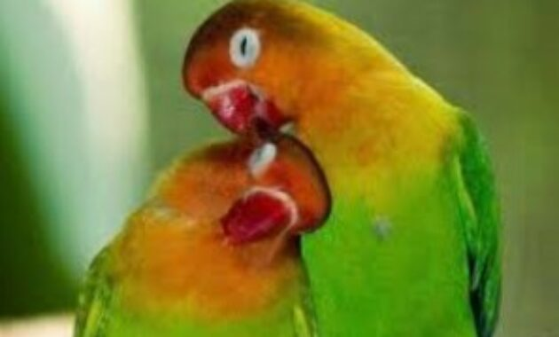cara-menstabilkan-birahi-lovebird