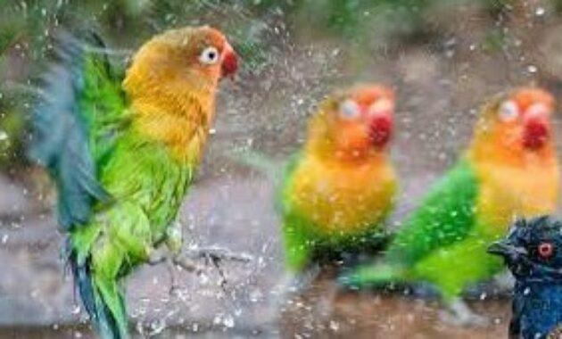 cara-menurunkan-birahi-lovebird-jantan