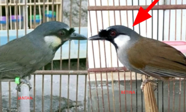 harga-burung-poksay-hongkong