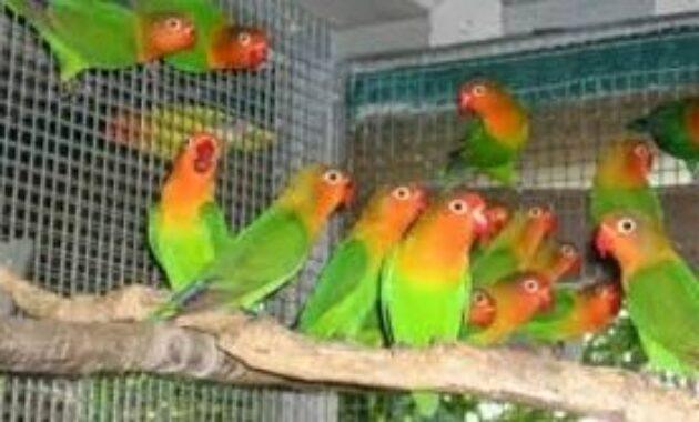 lovebird-ombyokan-murah