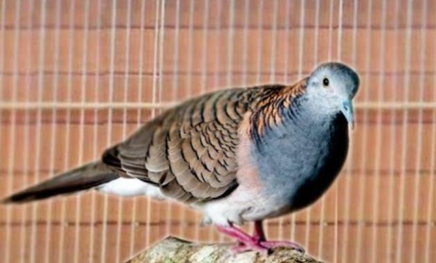 mitos-burung-perkutut-lokal