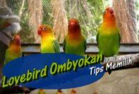 tips-memilih-burung-lovebird-ombyokan