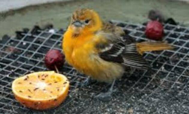 buah-untuk-burung