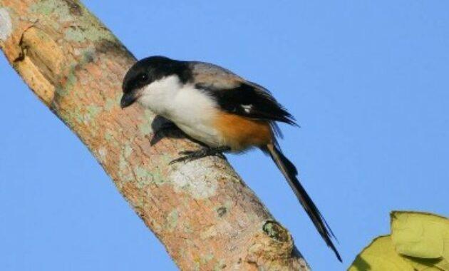burung-cendet-madura