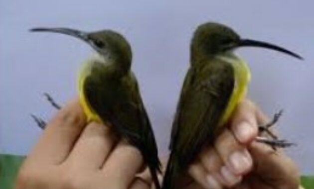 burung-pijantung-jantan-dan-betina