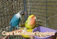 cara-memaster-lovebird