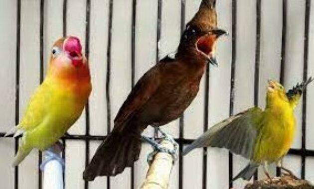 cara-memaster-lovebird-agar-ngekek-panjang