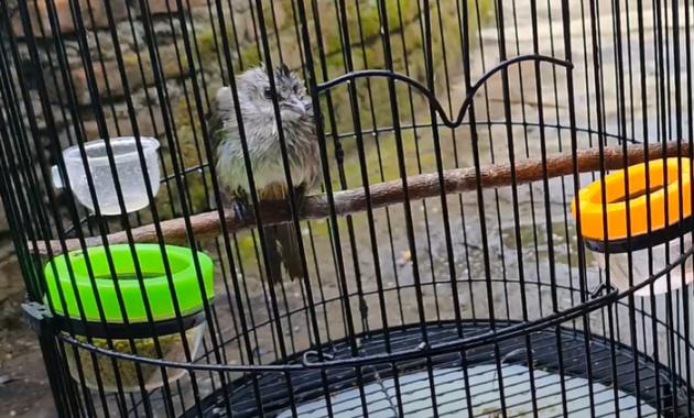 cara-merawat-burung-trucukan-ombyokan