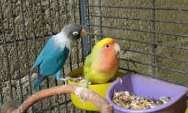 cara-pemasteran-lovebird