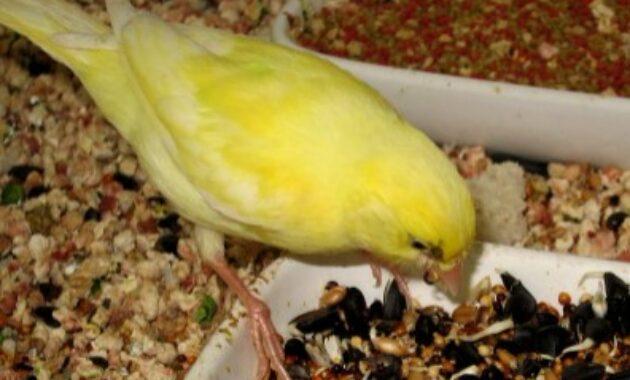 makanan-burung-kenari