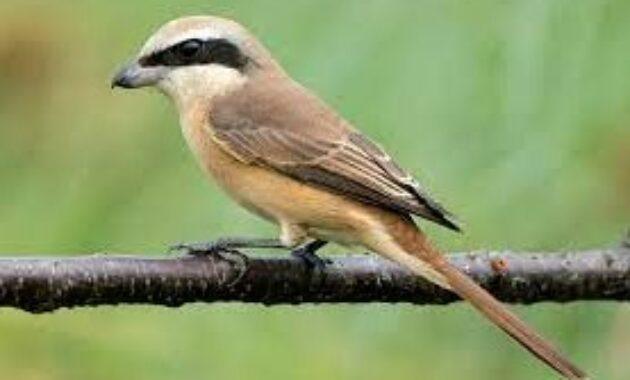 burung-cendet-indonesia