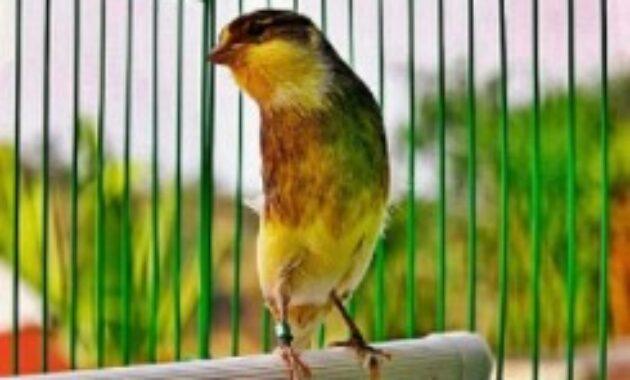 burung-kenari-gacor