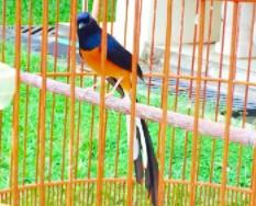 burung-murai-bahorok