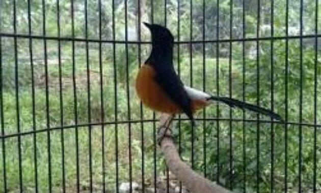 burung-murai-borneo