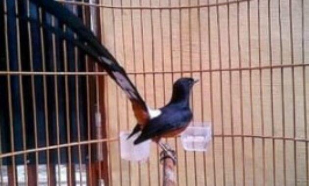 burung-murai-malaysia