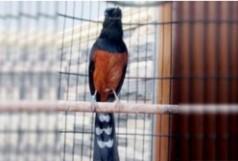 burung-murai-sabang