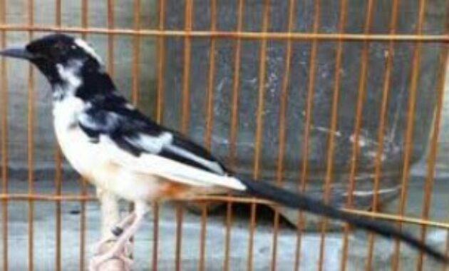 burung-murai-thailand
