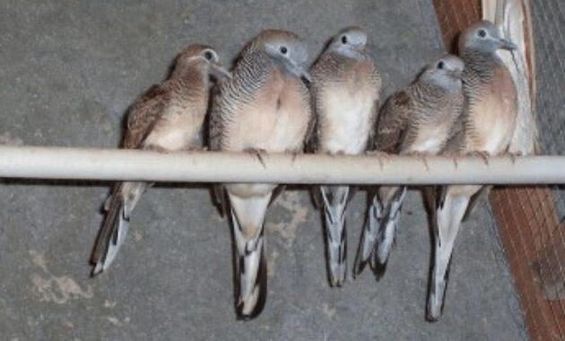 cara-menjodohkan-burung-perkutut-loka