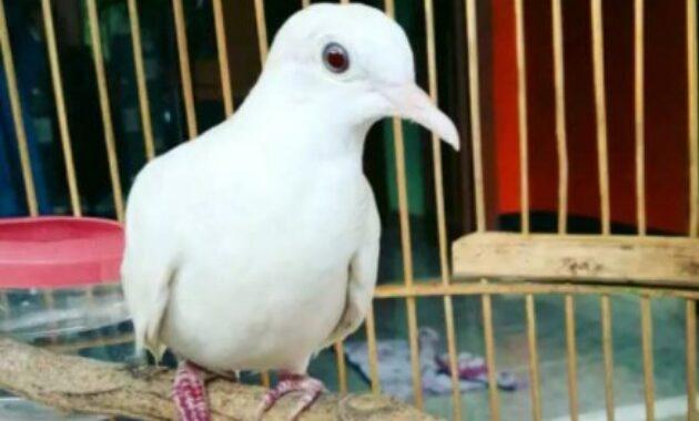 harga-burung-perkutut-putih